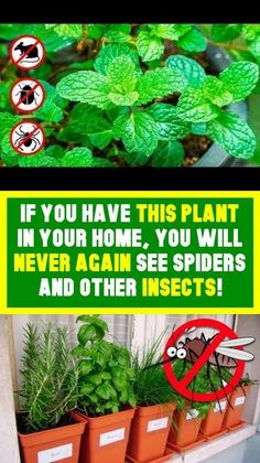 You will never again see spiders And other insects if you are living this plant in your homes! Getting Rid Of Mice, Never Again, Home Again, Healing Herbs, Live Long, Health And Safety, Health And Wellbeing, Natural Living, Healthy Tips
