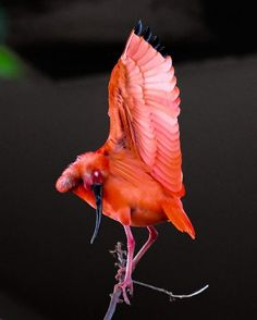 Scarlet Ibis #scarlet #Ibis #photo #photography #photographer #aviary #art #artist #bird #birdwatching #fly #wings #nature #love #Instagood #instabird #catgraff @bird_kingdom