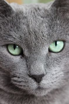Pretty green eyes on a pretty gray cat