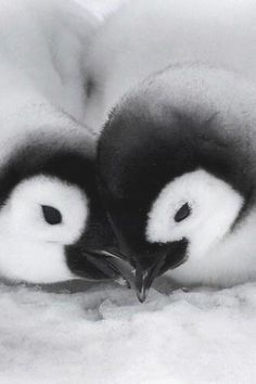 Baby penguins #HappyAlert via @Happy Hippo Billy