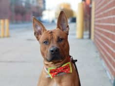 TAY TAY - 13145 - - Brooklyn  TO BE DESTROYED 12/19/17 **NEW HOPE RESCUE ONLY** -  Click for info & Current Status: http://nycdogs.urgentpodr.org/tay-tay-13145/