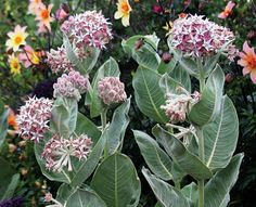 Asclepias speciosa, a California native milkweed, is a prime food for migrating monarch butterflies. Photo: Annie's Annuals And Perennials / ONLINE_YES