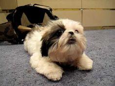 Jax The Sassy Shih Tzu Puppy | Polite Dog