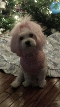 Maltipoo in Pink
