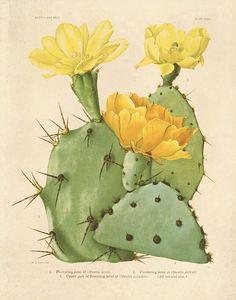 Cactus with Yellow Flowers Botanical Print Cactus Print Yellow Cactus Blossom Botanical Illustration Desert Art Desert Home Decor Cactus Drawing, Cactus Painting, Cactus Art, Cactus Flower, Cactus Decor, Cactus Plants, Flower Bookey, Flower Film, Flower Pots