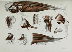 Biodiversity Heritage Library: No Flippant Matter: The Re-Invention of the Flipper and Why Ceatacean Flippers Are Unique