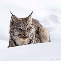 This is a WILD lynx peering over a fresh snow pillow in the Canadian Rockies.