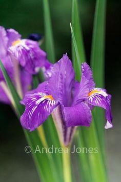 Iris barbatula