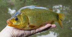 Todul despre Caras. Află toate secretele acestui pește