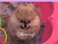 Thorncroft Holly