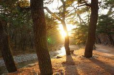 양산 통도사 소나무
