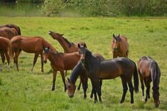 Avoid Equine Pistacia Poisoning This Fall - TheHorse.com | Keep horses away from Pistacia orchards this autumn, as the leaves adn seeds of this genus can cause hemolytic anemia and be fatal if ingested. #horses #horsehealth #toxicplants #TheHorse