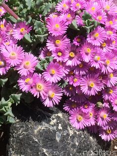 Oscularia deltoides Cactus, Spring, Plants, Cactus Plants, Planters, Plant, Planting