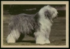 1950 Old English Sheepdog