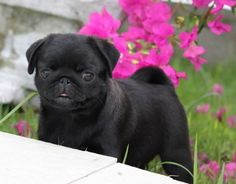 Cute Black Pug Puppy, the only cute mini dog out there!