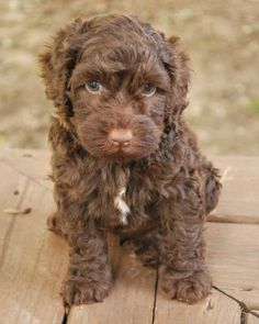 "Chocolate Labradoodle Puppy! Our new baby will be home May 24! Pictures soon! Official name is ""Bode Miller"""