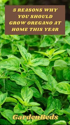 Growing Herbs, Growing Vegetables, Organic Gardening, Gardening Tips, Garden Ideas Budget Backyard, Basil Plant, Vegetable Garden Design, Medicinal Plants