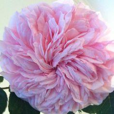 A perfect pink garden rose !