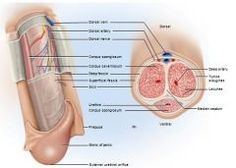 Penis Anatomy : (1) The penis is made of an attached root, and a free shaft /body that ends in the glans. (2) The prepuce, (foreskin) covers the penis and may be slipped back to form a cuff around the glans. (3) Internally the penis contains two erectile tissues. (a) the corpus spongiosum (b) the corpora cavernosum,
