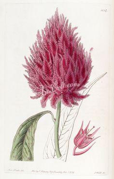 1834-celosia coccinea, Scarlet Cocksomb      ...