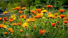 Calendula, Herbs, Flowers, Plants, Color, Colour, Herb, Plant, Royal Icing Flowers