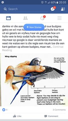 Parakeet Colors, Parakeet Care, Budgie Parakeet, Budgie Toys, Love Birds Pet, Best Pet Birds, Cute Birds, Pretty Birds, Baby Parakeets