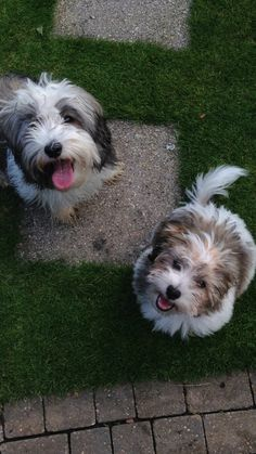 Havanese. YOGI & BARNEY. After a run around the garden together!