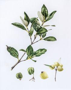 Grey Mangrove (Avicennia marina)