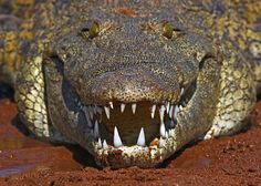 Crocodile Teeth