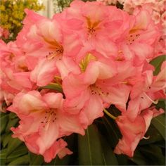Rhododendron Autumn Magic