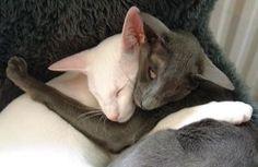 Oriental Shorthair cat picture                                                                                                                                                                                 More