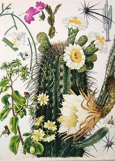 Vintage Gooseberry, Saguaro, and Night-blooming Cereus cactus illustration from Flowers and Plants of South America and Central America including the Barbados, 1988 Illustration Cactus, Illustration Botanique, Botanical Illustration, Vintage Botanical Prints, Botanical Drawings, Botanical Art, San Pedro Cacti, Cactus Print, Motif Floral