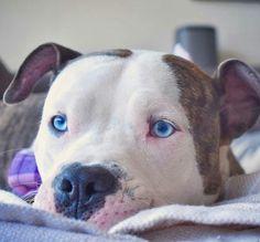 Blue-eyed Pit bull❤️ #PitBull