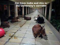 Cows everywhere!