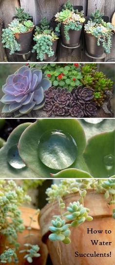 Learn how to properly water your succulent plants - overwatering is the number one way people kill their succulents!