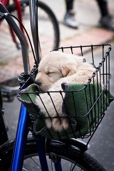 Ahh! A baby puppy sleeping in a bicycle basket wrapped in what looks to be an L.L. Bean wool blanket.