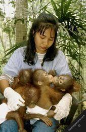 Image result for borneo rainforest orangutan