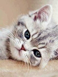 Image may contain: cat Kittens Cutest, Cats And Kittens, Animals And Pets, Cute Animals, Exotic Cats, Grey Cats, Cute Creatures, Beautiful Cats, Cool Cats