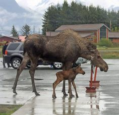 Strolling through Alaska. Photo by Panky Lowe, courtesy of Alaska Magazine. Strolling through Alaska. Photo by Panky Lowe, courtesy of Alaska Magazine. Animals And Pets, Baby Animals, Funny Animals, Cute Animals, Animal Babies, Moose Pictures, Animal Pictures, Wild Creatures, All Gods Creatures