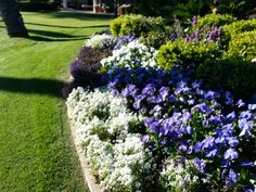 Alyssum 'Snow Crystals' and Lobelia 'Blue Moon' as a border and the Pansy 'Clear White' and Clear blue