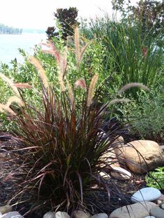 I think this is Purple Fountain Grass.
