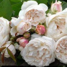 Sterk geurende rozen - De allermooiste klimrozen van Belle Epoque Winchester Cathedral Rose, Home And Garden, Flowers, Gardens, Pink, Belle Epoque, Outdoor Gardens, Royal Icing Flowers, Flower