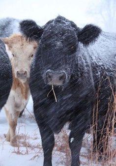 Black Angus In Snow Storm
