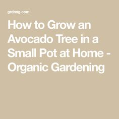 How to Grow an Avocado Tree in a Small Pot at Home - Organic Gardening Garden S, Vegetable Garden, Organic Lawn Care, Growing An Avocado Tree, Planting Potatoes, Organic Gardening, Urban Gardening, Organic Vegetables, Tips