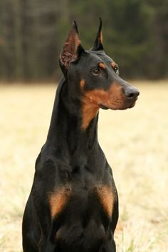 Doberman Pinscher~Most loving,loyal,protective,intelligent and fun loving dog I've ever owned. He also had a great sense of humour, and as 75 lb. adult thought he was a lap dog.