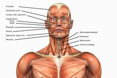 Human Anatomy Muscles: How Muscles Are Named & Why