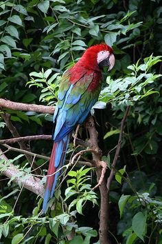 Red and Green Macaw, Tambopata National Reserve, a nature reserve in the Peruvian Amazon.
