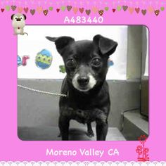 INA #A483440 (Moreno Valley CA) Female, black Chihuahua - I am about 5 years old. I weigh  7.30 lbs.  I have been at the shelter since Mar 31, 2018 a