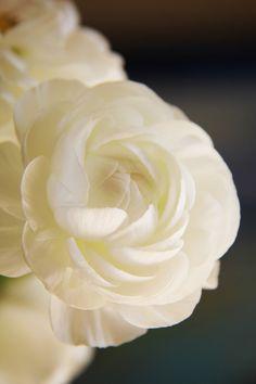 *Lovely Clusters - The Pretty Blog www.lovelyclustersblog.com: White Ranunculus