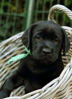 Black lab in a basket